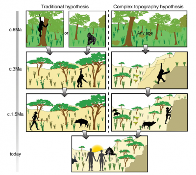 Fig. 2. Schematic of the hominin lineage with the last common ancestor of chimps and humans at the top. L: traditional hypothesis; R; complex topography hypothesis. The latter better explains the transition from living in trees – a complex, 3D habitat – to ground dwelling in a 2D habitat by proposing an intermediate stage of ground dwelling in rough, complex landscapes (From Winder et al. 2013).