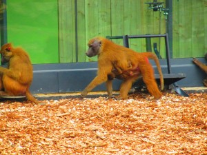 Fig. 1. Guinea baboons (Yorkshire Wildlife Park)